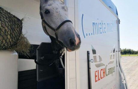 Pferd schaut aus Pferdeanhänger mit Seitentür